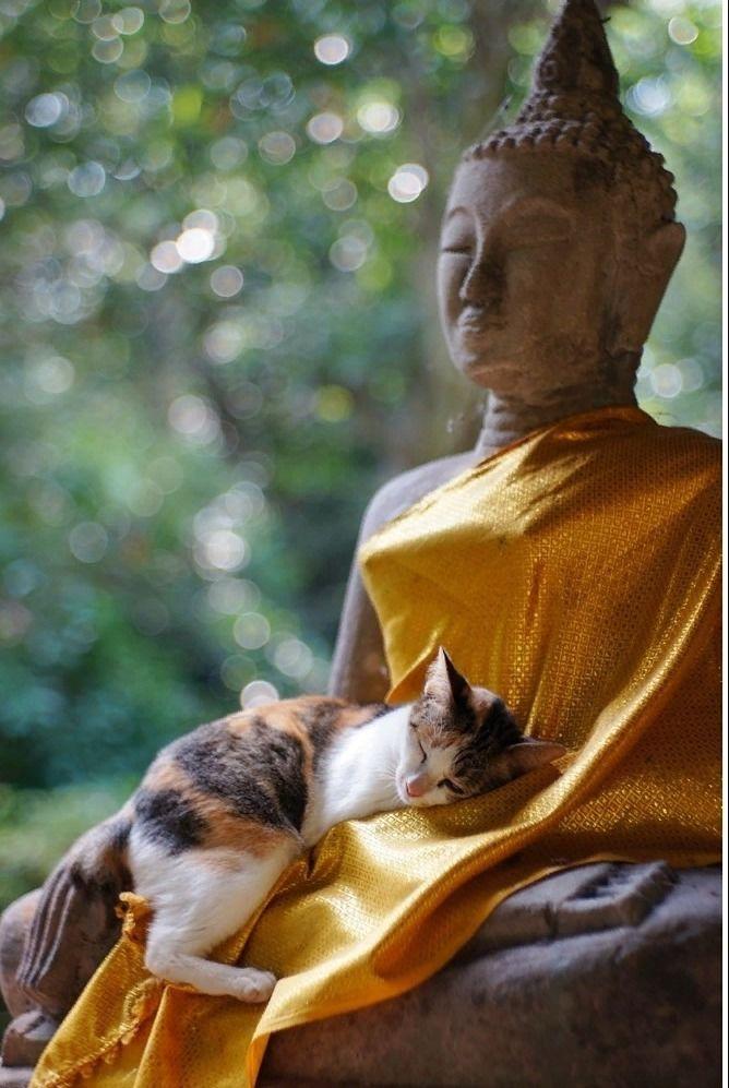 необходимо кот буддист картинки рейсы, реальные отзывы