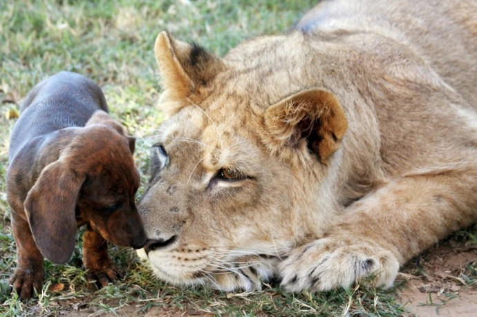 Дружба собак и больших кошек